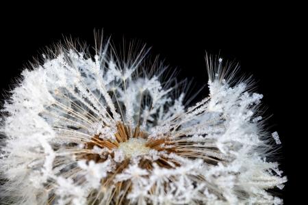 dandelion snow: dandelion in rime, isolated on black