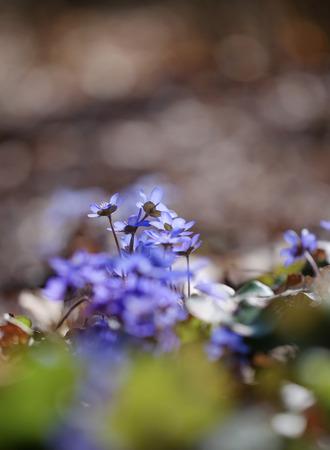 liverwort: First spring Violet flower, liverwort