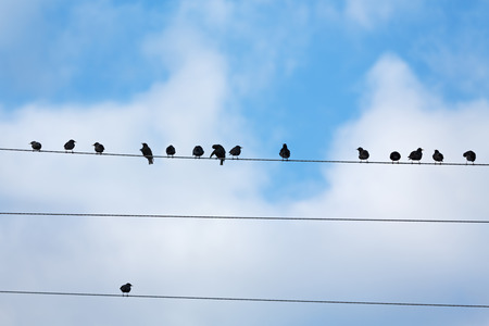 birds on a wire: Birds on Telegraph Wire