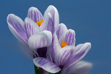 springtime: Springtime Crocus