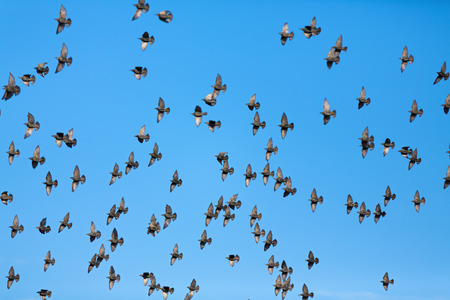 synchronously: Silhouette of starling flock against blue sky