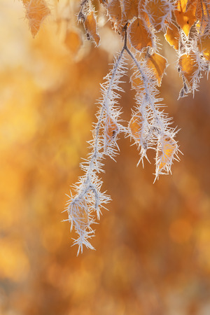 frost covered: Frost covered tree branches and yellow leaves