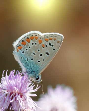 lycaenidae: Common Blue butterfly (Latin Lycaenidae) sitting on a flower sowthistle Stock Photo
