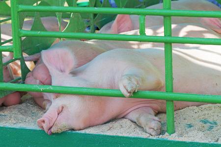 pigpen: home pigs sleeping in the corral