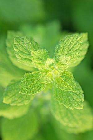 field mint: Fresh mint growing in the garden. Shallow depth of field. Stock Photo
