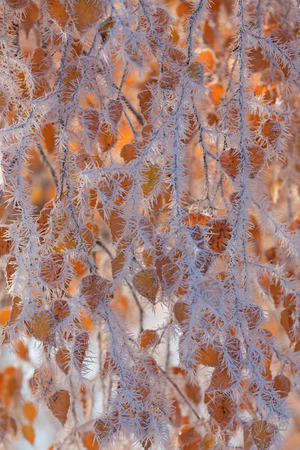 Frost covered tree branches and yellow leaves