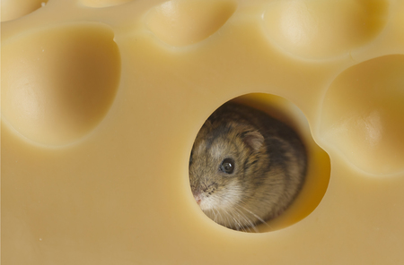 little hamster with cheese Stock Photo
