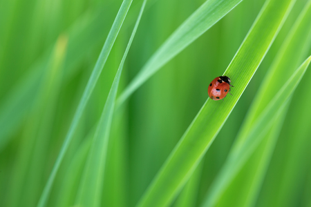 photography image of red ladybird on  green grass Stock Photo