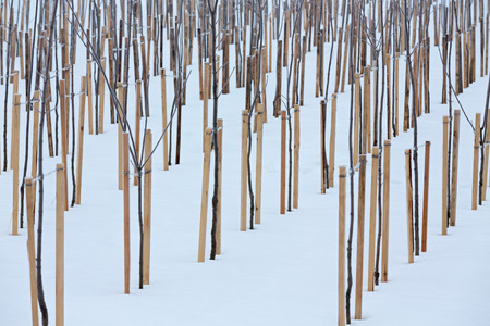 Row of young apple trees in snow