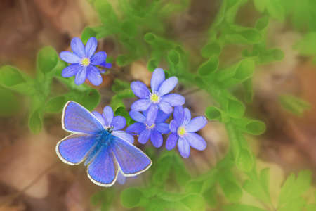 blue butterfly icarus and blue flowers