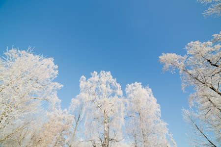 trees in hoarfrost on a background of blue sky