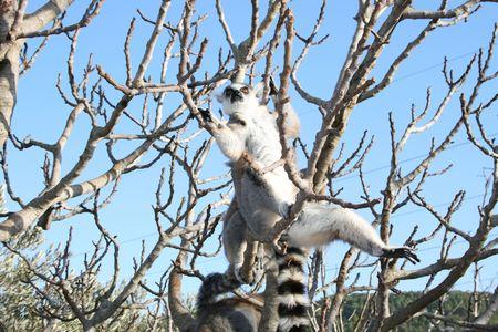 fussy: Lemur monkey