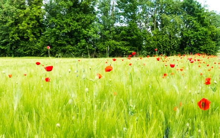 Field of poppies photo