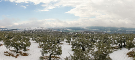snowy landscape: Snowy landscape with olive trees Stock Photo