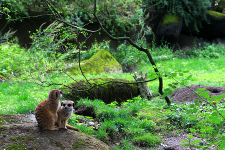 suricate: Meerkat also known as Suricate in nature