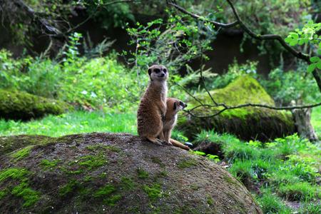 animal watching: meerkat, suricatta, suricata, animal, wildlife, nature, mammal, cute, close-up, grass, head, stone, meadow, predator, watching, guards, closeup, animals, suricate, natural, life, wild, family, look, africa Stock Photo