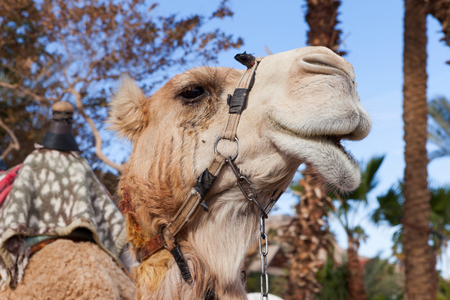 Close up of a Camels head at the desert city of Eilat