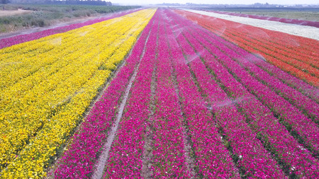 Field of colorful Buttercups - Aerial view