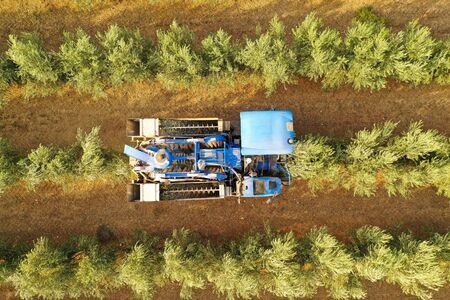 Olive Harvester passing over rows of Olive Trees and softly shaking and detaching the olives off the branches, Aerial footage of the process.