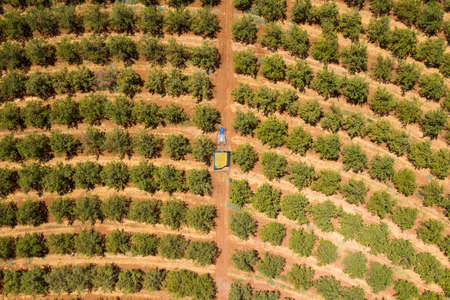Tractor loaded with fresh Harvested Almonds crossing an Almond tree orchard.