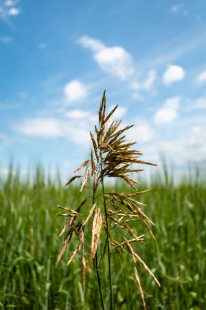 A single yellow spike on a green oat field
