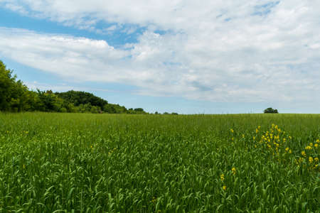 Green oat field on the edge of the forest