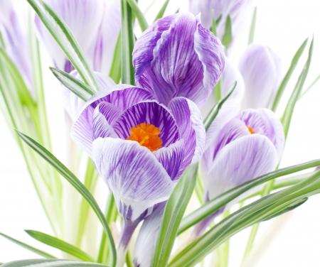 Close up di fiori crocus su sfondo bianco