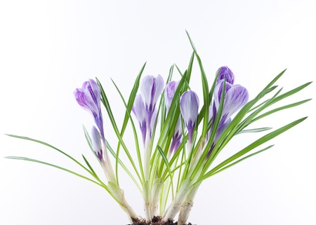 Close up of crocus flowers on white background Stock Photo