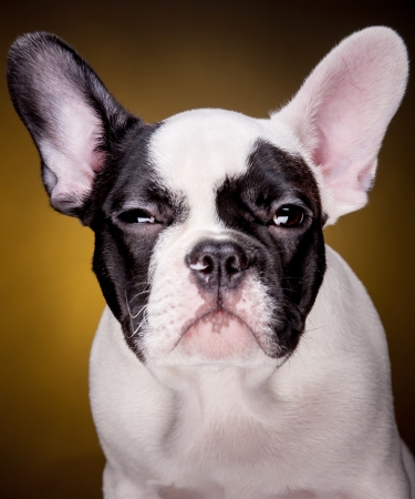 Funny portrait of french bulldog puppy on dark yellow background