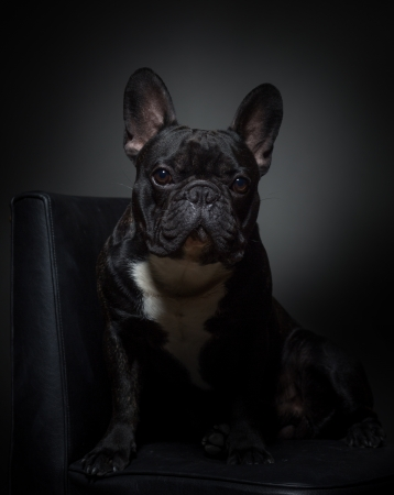 Cute black french buldog posing for camera on chair photo