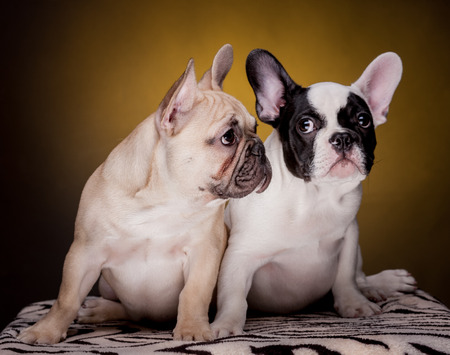 frenchie: Two cute brown french bulldog puppies on golden dark background