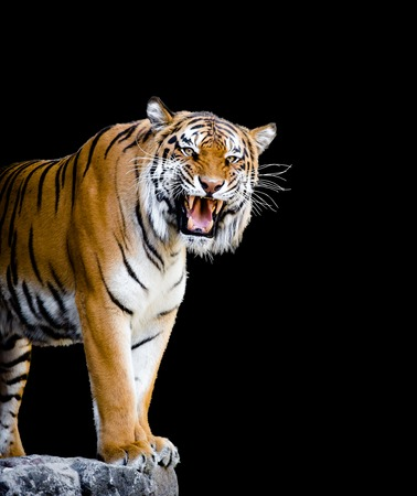 Close-up picture of sumatran tiger roaring isolated on black background. Tiger is ready to attack, he is looking at you. 스톡 콘텐츠