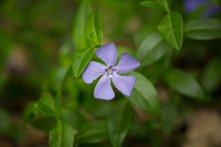 five petals: Little violet flowers on green nature background. Close-up of a violet flower with five petals, beautiful view. Stock Photo