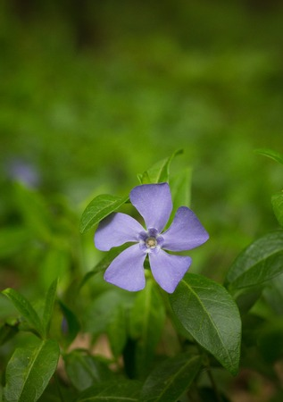 field of flower: A little violet summer field flower isolated on green nature. A violet flowe somewhere in the summer or spring forest. Archivio Fotografico
