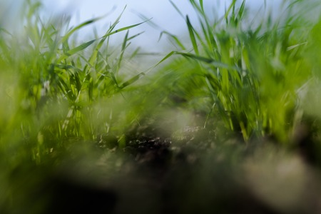 small field: Close-up shot of growing shoots of young wheat. Shoots of wheat in a small field in the spring.