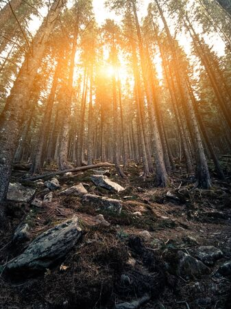 Sunset In Mystical Dense Forest, The Tall Trunks Of Conifers Stand On High Hill Among Large Stones Covered With Moss, The Suns Rays Are Beautifully Intertwined In Branches On Sky Background Archivio Fotografico