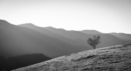 Silhouette Of Lonely Tree Growing On Grassy Hillside Against Background Of Coniferous Forests, Foggy Mountains And Clear Sky, Picturesque Landscape, Gray Scale Image Фото со стока