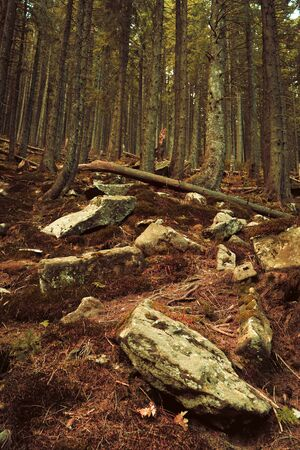 Big Woods And Stones In Mountain Forest, Dense Coniferous Forest On A Hill, Impassable Thicket With Large Boulders And Trunks Of Old Fallen Trees Lying On Earth