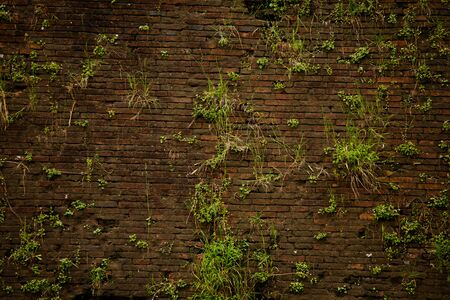 Grassy old brown brick wall. Young green plants growing in the cracks between the bricks of the brickwork. Texture or background in retro style. 版權商用圖片