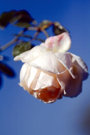 pedicel: rose