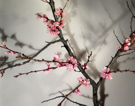 blossoming: Spring blossoming twig