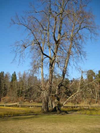 branching: old branching tree on a sunny spring weather
