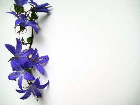 effloresce: tiny branch with blooming blue bellflowers background