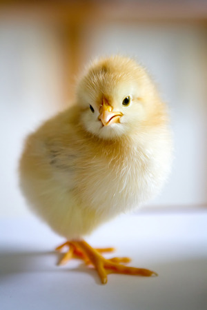 half turn: one small fluffy yellow chick standing in a half-turn on the white surface closeup Stock Photo