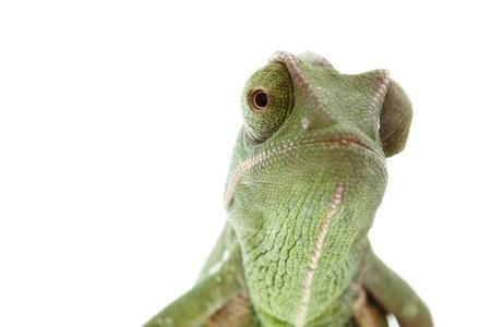 Baby chameleon posing in light tent, macro focused on eyes photo