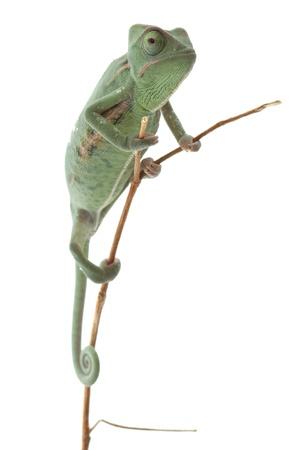 stereoscopic: Baby chameleon posing in light tent, macro focused on eyes