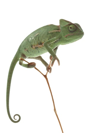 Baby Chameleon Posing In Light Tent Macro Focused On Eyes Stock Photo Picture And Royalty Free Image. Image 8875362.  sc 1 st  123RF Stock Photos & Baby Chameleon Posing In Light Tent Macro Focused On Eyes Stock ...