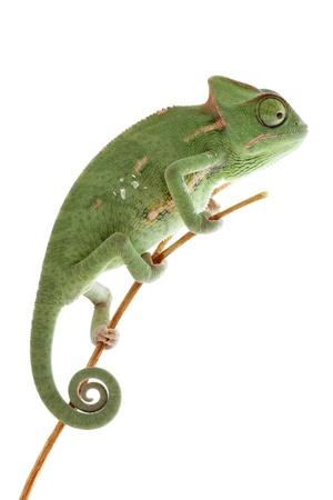 eidechse: Baby Chameleon posiert in Lichtzelt, Makro konzentrierte sich auf Augen