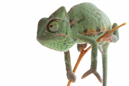 veiled: Baby chameleon posing in light tent, macro focused on eyes
