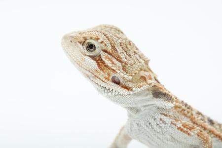 Lizard Pogona vitticeps Stock Photo - 8875413